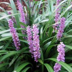 Liriope muscari 'Royal Purple'
